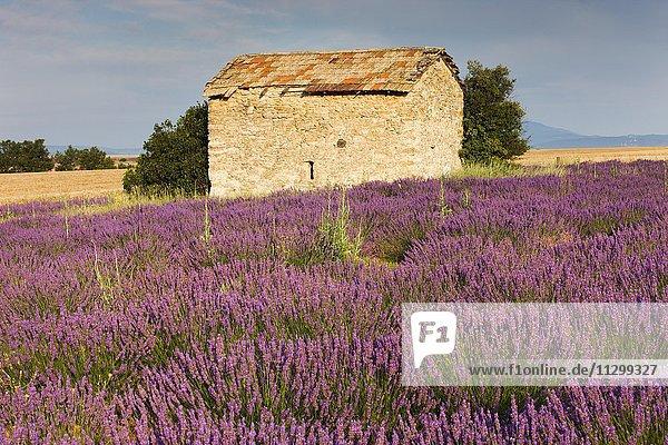 Blooming lavender (Lavandula angustifolia) field  stone house  Plateau de Valensole  Alpes-de-Haute-Provence  Provence-Alpes-Côte d'Azur  France  Europe
