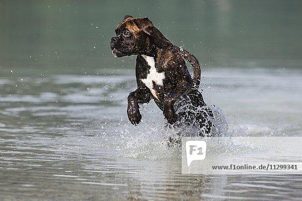 Boxer springt im Wasser  Österreich  Europa
