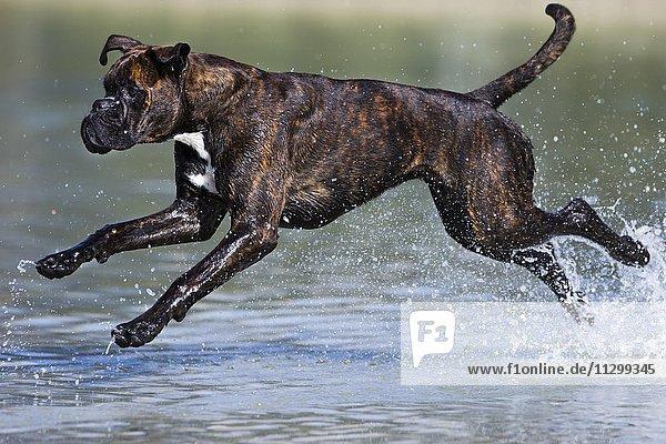 Boxer läuft im Wasser  Österreich  Europa