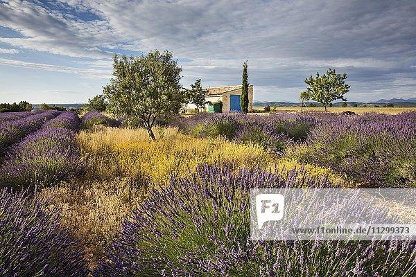 Blühendes Lavendelfeld (Lavandula angustifolia) vor Landhaus  Département Alpes-de-Haute-Provence  Region Provence-Alpes-Côte d?Azur  Frankreich  Europa