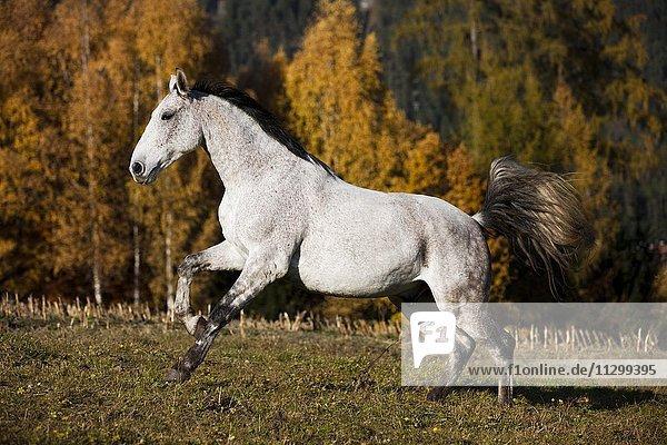 Holsteiner  Fliegenschimmel  horse galloping in meadow  autumn  Tyrol  Austria  Europe