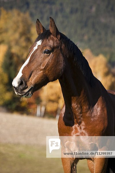 Holsteiner  brown horse  autumn  portrait  Tyrol  Austria  Europe