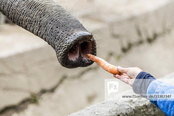 Mädchen füttert Elefant  Hamburg  Deutschland  Europa