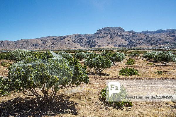 Iran  Near Fasa City  Fig tree plantation