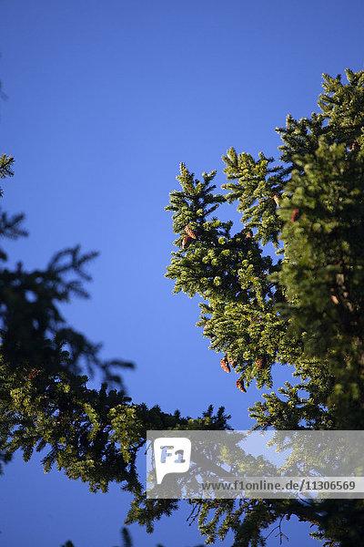 Conifer tree branch against blue sky