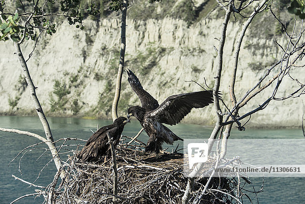 bald eaglets getting ready to fledge from nest  Yukon  Canada