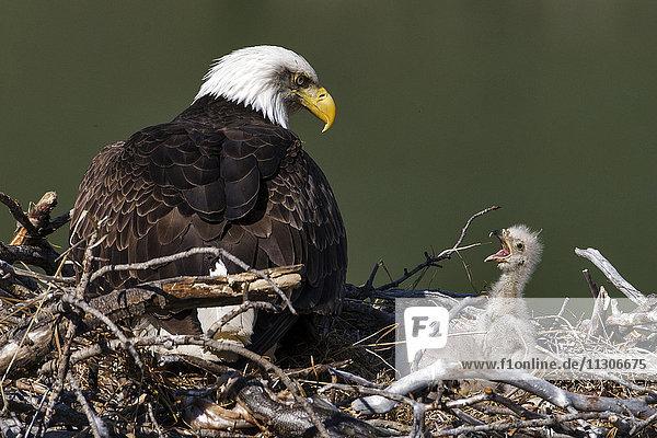 bald eagle  Haliaeetus leucocephalus  nesting  Yukon  Canada