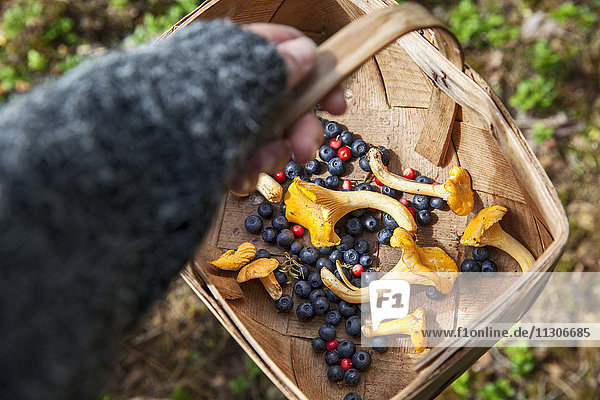 Child hand holding basket with berries and chanterelles