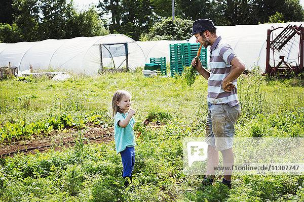 Ein Mann und ein Mädchen essen frisch geerntete Karotten in einem Gemüsebeet.