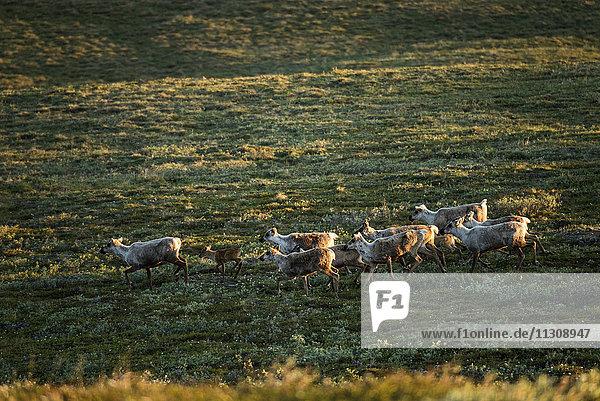 western arctic caribou  herd  caribous  reindeer  rangifer tarandus  animals  national petroleum reserve  Alaska  USA