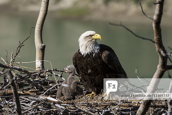 bald eagle  eagle  bird  young  adult  Haliaeetus leucocephalus  nesting  Yukon  Canada