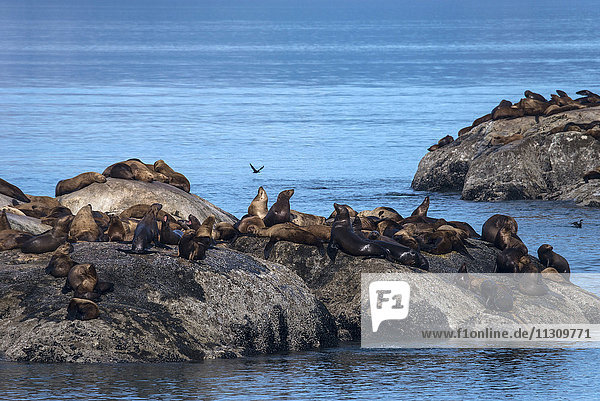steller sea lion  sea lion  animal  Eumetopias jubatus  glacier bay  national park  Alaska  USA