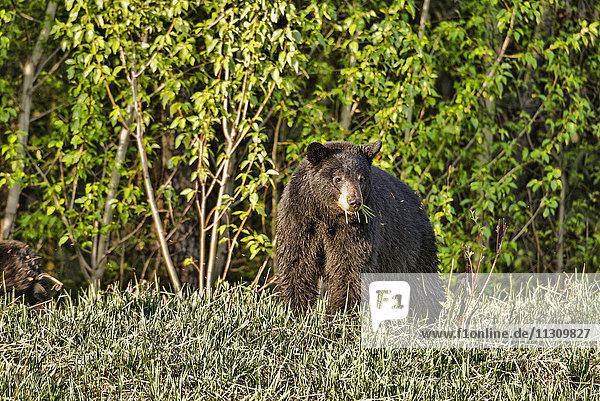 black bear  bear  animal  Alaska  USA
