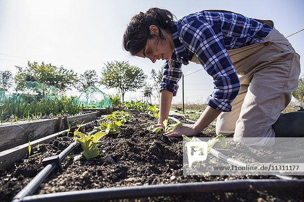 Frau  die auf dem Bauernhof arbeitet und Salat pflanzt.