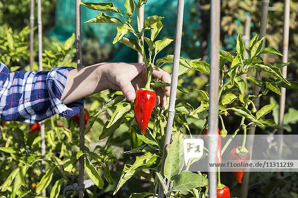 Hand der Frau  die rote Paprika pflückt
