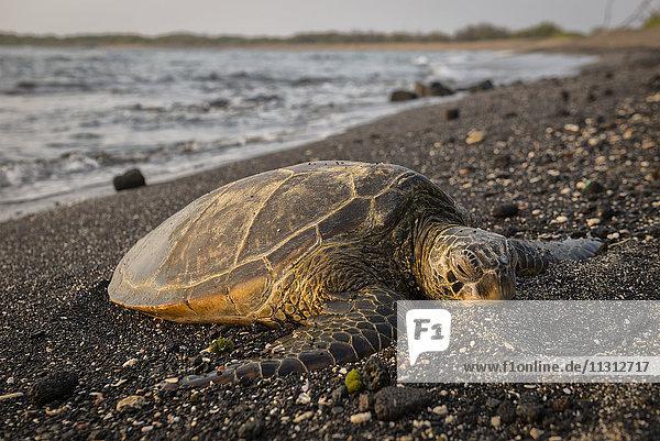 USA  Vereinigte Staaten  Amerika  Hawaii  Big Island  Kona  Hawaii  Big Island  Kona  Kaloko-Honokohau National historic park  sea turtle  turtle  animal  on beach