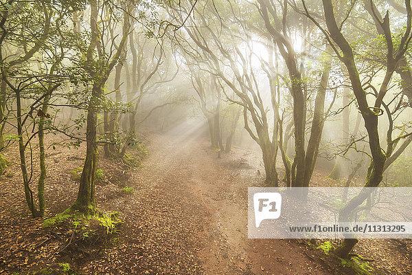 Spanien  Kanarische Insel  Teneriffa  Nebelwald im Anaga-Gebirge Spanien, Kanarische Insel, Teneriffa, Nebelwald im Anaga-Gebirge