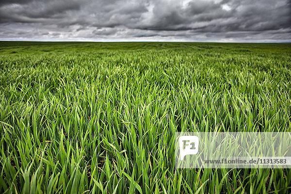 Spanien  Provinz Zamora  Getreidefeld und stürmischer Himmel