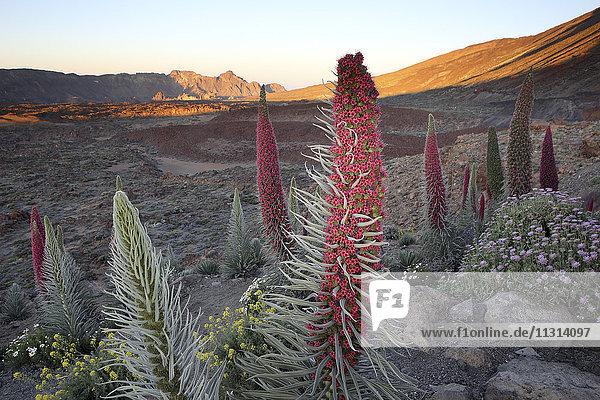 Spanien  Kanarische Inseln  Teneriffa  Teide Nationalpark  Mount Teide  Echium Wildpretii Spanien, Kanarische Inseln, Teneriffa, Teide Nationalpark, Mount Teide, Echium Wildpretii
