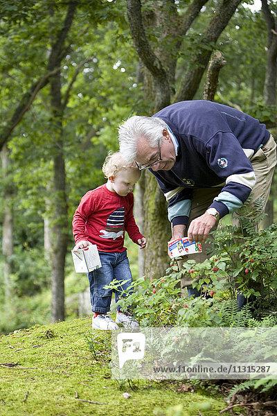 Grandfather and grandchild picking raspberrys