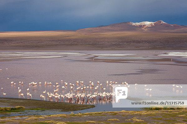 Laguna Colorado  Bolivia  Altiplano  flamingos