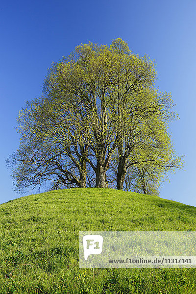 lime-tree on a hill