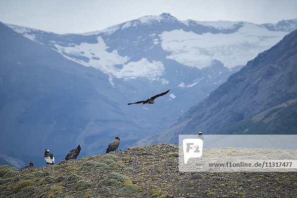 South America  Patagonia  Chile  Torres del Paine  National Park  UNESCO  World Heritage  condor