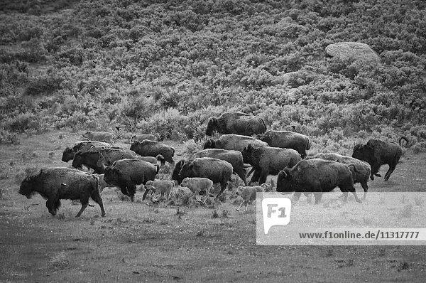 USA  Rocky Mountains  Wyoming  Yellowstone  National Park  UNESCO  World Heritage  Bison bison  Bison  herd  mammal  Lamar  nature