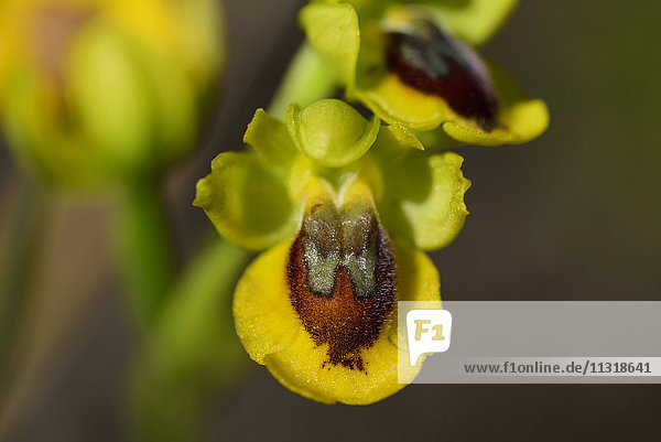 Yellow-bee Orchid  Ophrys lutea