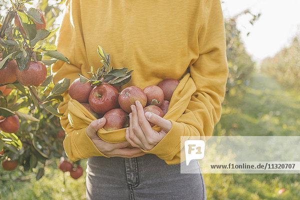 Frau sammelt Äpfel im Obstgarten Frau sammelt Äpfel im Obstgarten