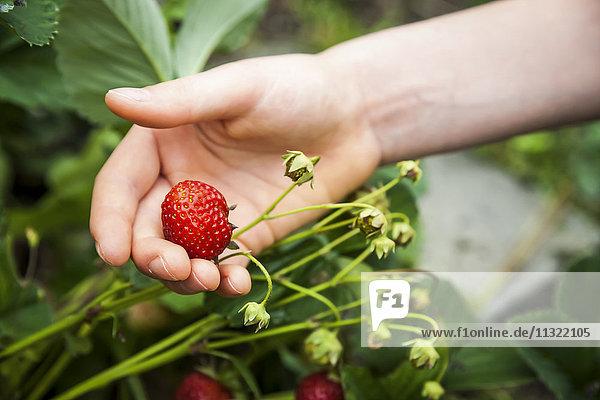 Erdbeere in der Hand