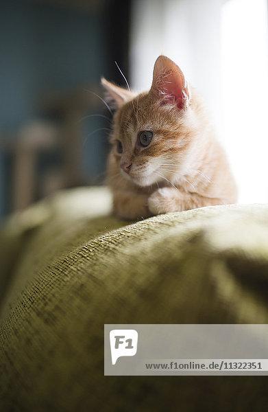 Kätzchen auf der Rückenlehne der Couch liegend Kätzchen auf der Rückenlehne der Couch liegend