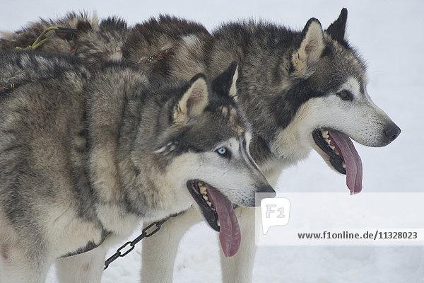 Huskies sledge dogs
