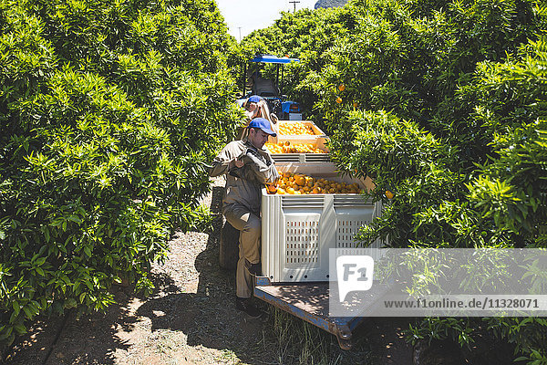 Zupfer  die auf Orangenplantagen arbeiten