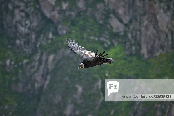 flying condors over Colca Canyon in Peru