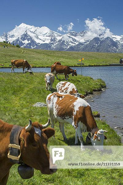 Cows at the Gibidumsee lake in Valais