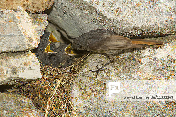 Black redstart  phoenicurus ochruros  birds