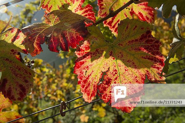 vine leaves in Switzerland
