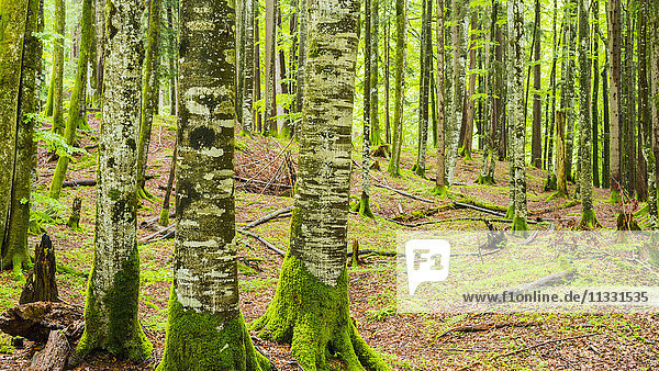 copper beeches in Bavarian forest