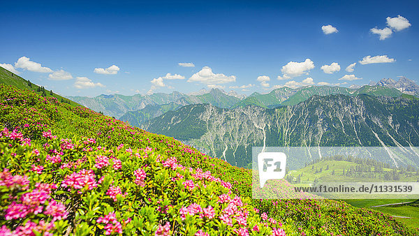 panorama and alpine roses from the Fellhorn in Allgäu  Bavaria