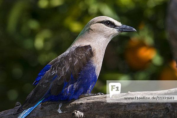 blue bellied roller  Coracias cyanogaster  bird