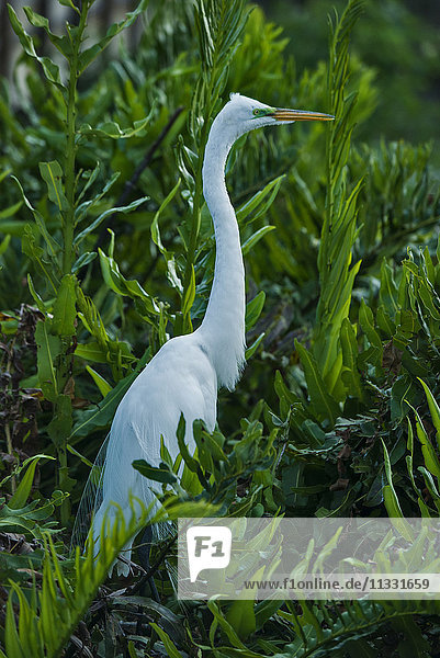 great egret  casmerodius albus