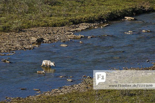 western arctic caribou  rangifer tarandus