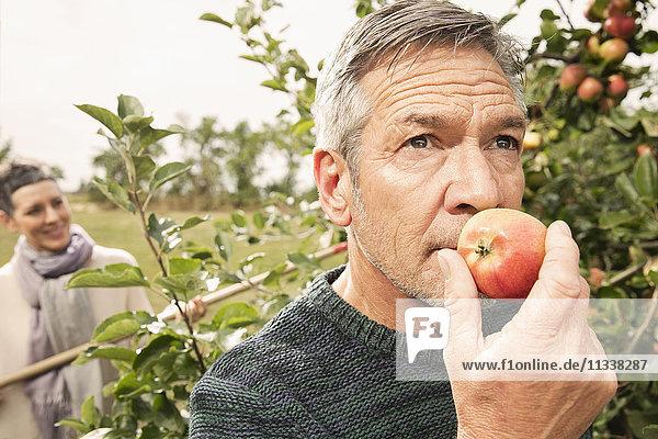 Mann riecht frischen Apfel im Obstgarten
