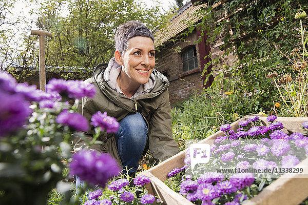 Glückliche Frau  die lila Blumen im Garten pflanzt.