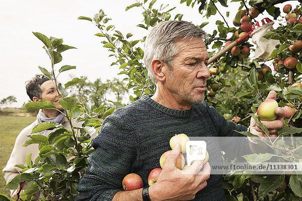 Ein paar Äpfel vom Baum im Obstgarten pflücken