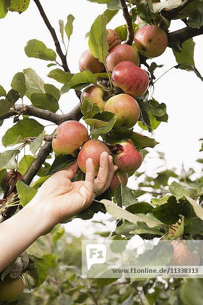 Abgeschnittene Hand der Frau  die im Obstgarten Apfel vom Baum pflückt.