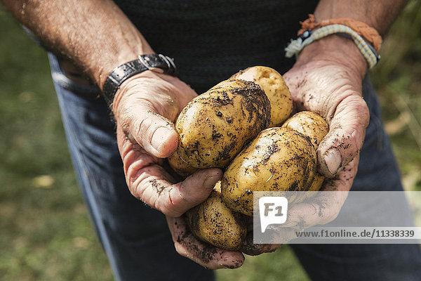 Mittelteil des Mannes mit schmutzigen Kartoffeln im Garten