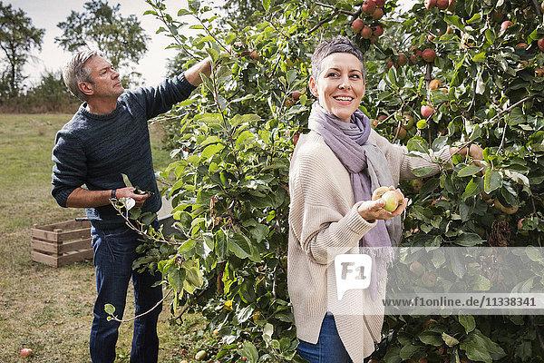 Glückliches Paar pflückt Äpfel vom Baum im Obstgarten