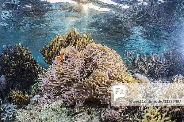 False clown anemonefish (Amphiprion ocellaris)  Sebayur Island  Komodo Island National Park  Indonesia  Southeast Asia  Asia